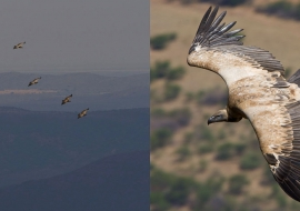 African Vultures