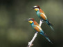 European Bee Eaters CH