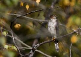 Fall Migrations Hawkwatch