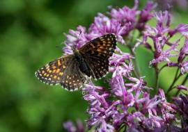 Lepidopteres, Switzerland
