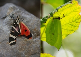 Lepidoptere, Butterfly, Insects, Switzerland