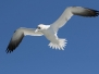 NorthernGannets