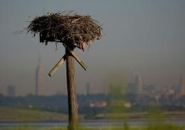 Ospreys Jamaica Bay NYC