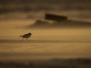 Piping Plovers NYC
