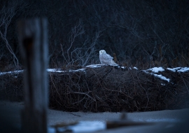 SnowyOwlsNYC_FP17_018
