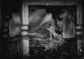 SpFlycatcher_FP17_02