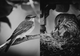 SpFlycatcher_FP17_03