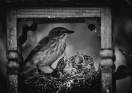 SpFlycatcher_FP17_05