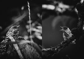 SpFlycatcher_FP17_14