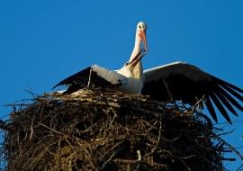 White Storks, Switzerland